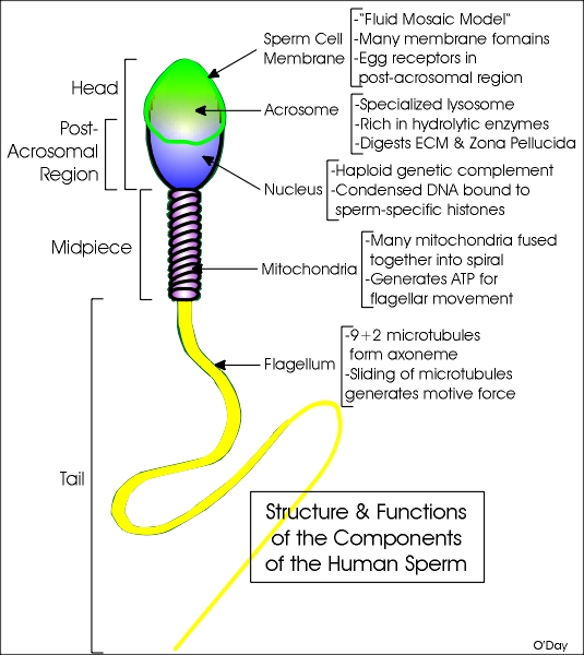 illustration of the structure of a sperm